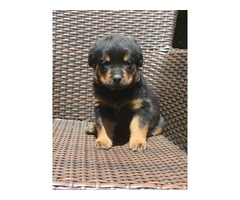 Healthy loving Rottweiler Puppies