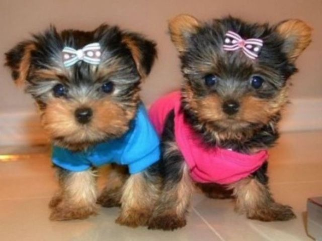 Malefemale Small Boned 5 Beautiful Yorkie Black With Tan