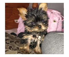 Gorgeous Tiny and adorable, yorkie puppies