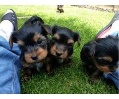 Beautiful Yorkshire Terrier Girls/boys aKc Reg