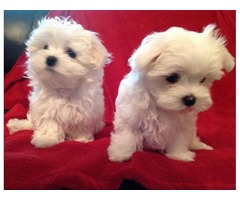AKc Registered Maltese puppies for sale both boy and girl .