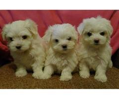 Maltese puppies(american Maltese puppies)