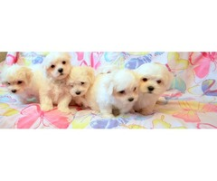 6 Beautiful Maltese puppies for sale.