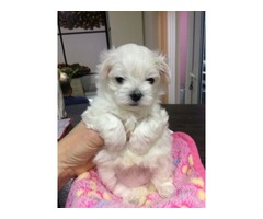 6 Beautiful Maltese puppies for sale. | free-classifieds-usa.com