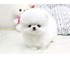 Two Adorable Teacup Pomeranian