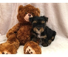 Awesome T-Cup Yorkie Puppies Available