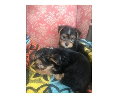Standard size Teacup Yorkie puppies Now Ready