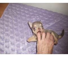 Teeny Tiny Kc Lilac & Rare Mink Chihuahuas