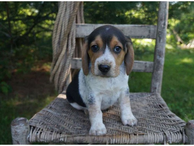 Stunning Male And Female Beagle Puppies For Sale Animals San