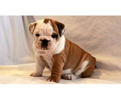 Excellent Adorable English Bulldog Puppies For Sale