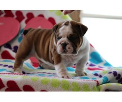 Excellent Adorable English Bulldog Puppies For Sale | free-classifieds-usa.com
