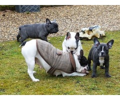 Excellent top Quality Blue French Bulldog puppies all show quality.