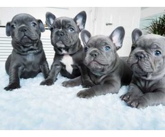 cuties Blue French Bulldog puppies all show quality. .
