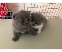 Pedigrees British Shorthair Blues N 1 Colourpoint