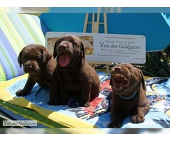 Labrador retriever brown puppies