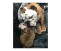 Breeder : Lovely English Bulldog Puppies for sale