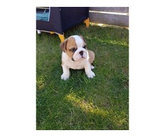 Adorable English Bulldog Puppies for sale | free-classifieds-usa.com