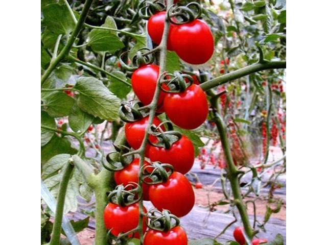 30pcs British Cherries Tomato Seeds Garden Plants | free-classifieds-usa.com