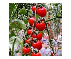 30pcs British Cherries Tomato Seeds Garden Plants