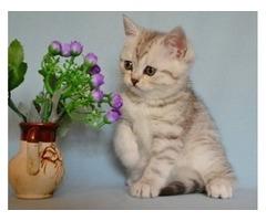 Jones-Scottish Fold kittens Available
