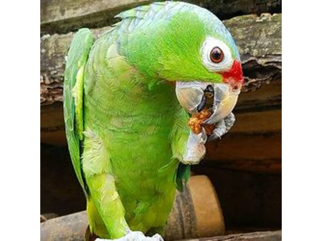 ParrotsforSale|BlueGoldMacaws|BuyRedLoredAmazonParrot