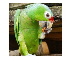 Parrots for Sale | Blue Gold Macaws | Buy Red Lored Amazon Parrot