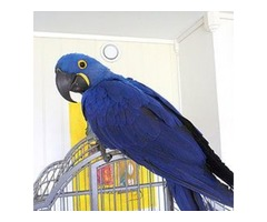 Blue Gold Macaws | Buy Hyacinth Macaw Parrot USA