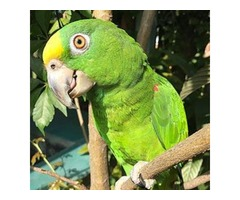 Parrots for Sale | Panama Amazon Parrot For Sale In USA