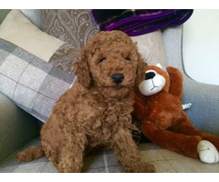 Prcd Pra Clear Kc Red Toy Poodle Puppies