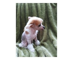 Chinese Crested female puppy