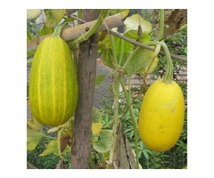 10pcs Gold Loofah Seeds Exotic Vegetables Seed
