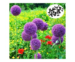 20pcs Allium Giganteum Seeds Purple Plant DIY Home Garden