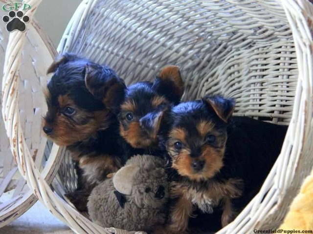 Male And Female Tea Cup Yorkie Puppies For Sale Animals
