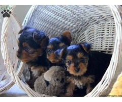 MALE AND FEMALE TEA CUP YORKIE PUPPIES FOR SALE