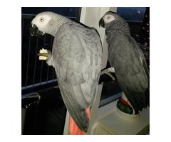 PAIR OF AFRICAN GREY PARROTS