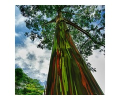 Egrow 40pcs Rainbow Eucalyptus Seeds Garden  Eucalyptus Deglupta Decor Plant