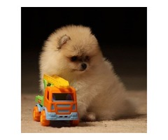 4 Left! AKC Gorgeous Pure Pomeranian Puppies(Vet checked)