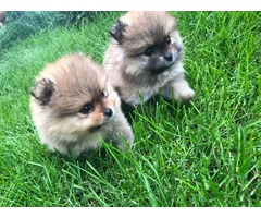 4 Left! AKC Gorgeous Pure Pomeranian Puppies(Vet checked) | free-classifieds-usa.com