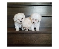 Intelligent Maltese Pups ready to go to any good and lovely home