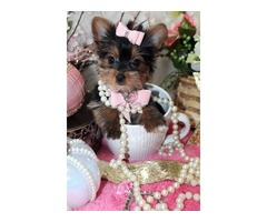 Registered Yorkie Puppies Ready To Go