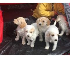 Bedoodle Bedington x poodle puppies