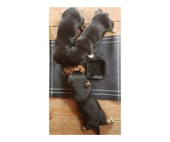 Jack Russel x Dachsunds puppies