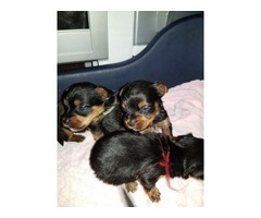 Yorkishire Terrier puppies