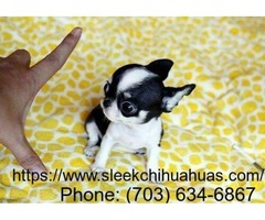 chihuahua puppies for sale in VA.
