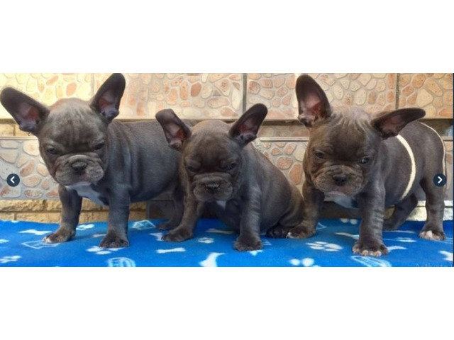 Show Quality French Bulldog Puppies M F Looking For Their New Pas