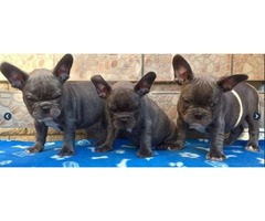 Show Quality French Bulldog Puppies, M/F looking for their new parents