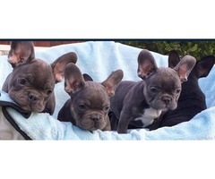 Adorable M/F French Bulldog Puppies, AKC reg Now Available