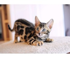 Stunning Tica Registered Bengal Kittens.