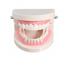 1 Pack Dental Dentist Teeth Tooth Teach Model Pink Flesh Gums