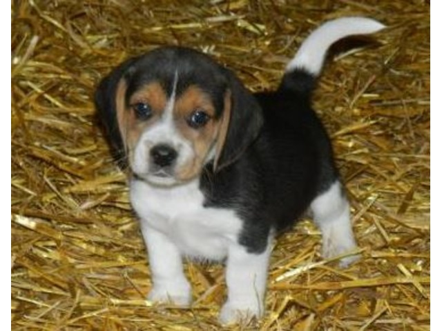 Bert Beagle Puppy For Sale Animals Lebanon Pennsylvania